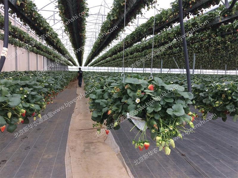 吊挂升降草莓种植草莓天瀑